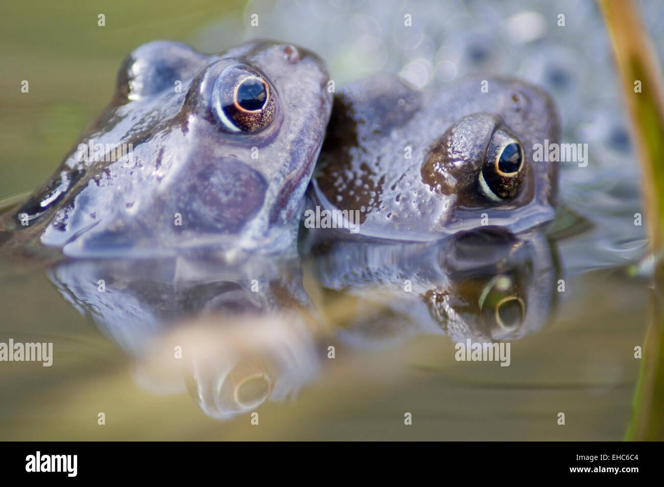 Un par de Ranas Comunes Británica (Rana temporaria) a desovar en un estanque de jardín en East Yorkshire Foto de stock