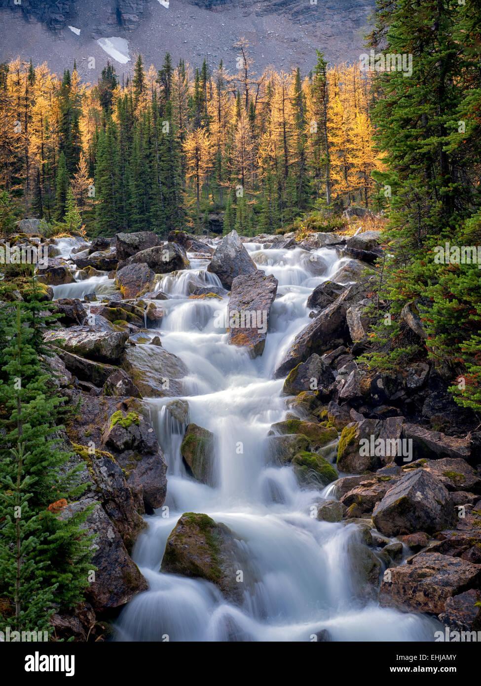 Arroyo fluye desde el pasado otoño color Opabin meseta alerces. El Parque Nacional Yoho, meseta Opabin, British Imagen De Stock