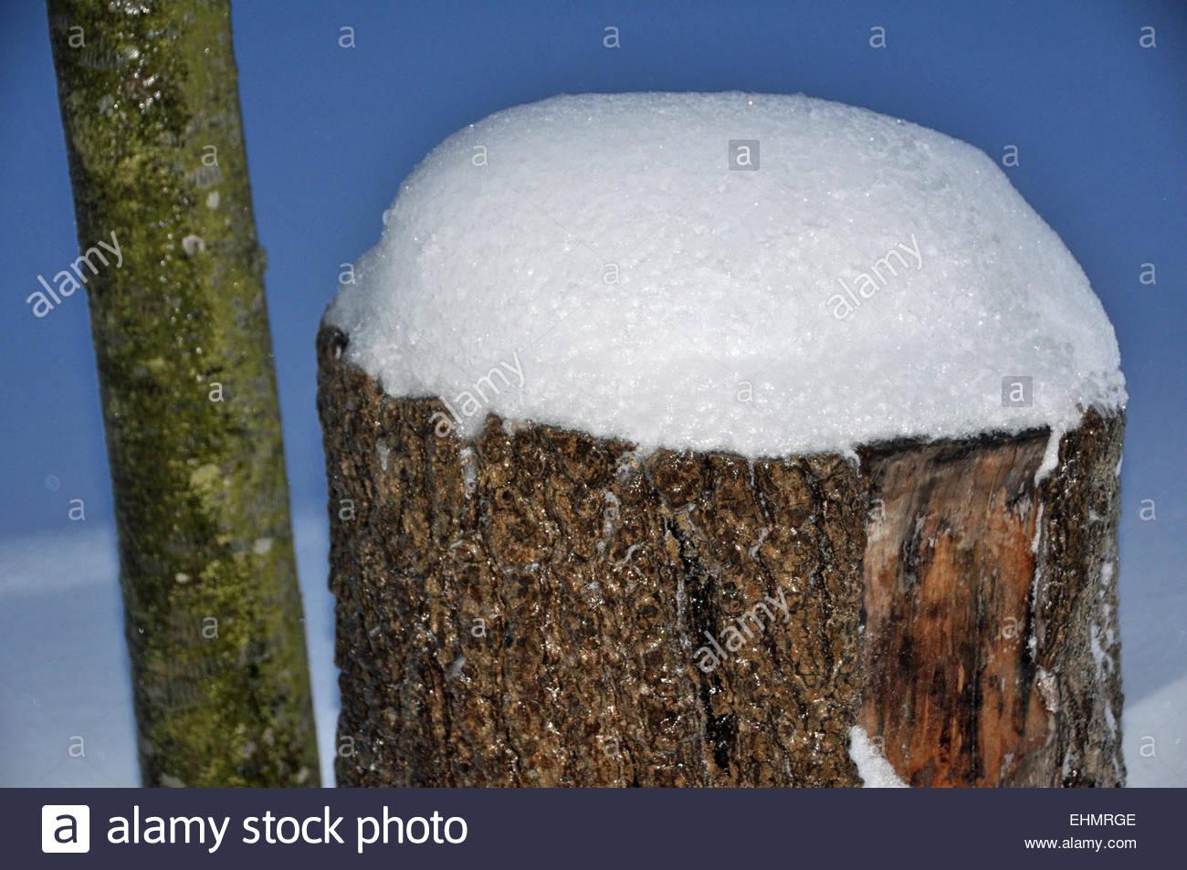 Oaktree tronco cubiertos de nieve. Imagen De Stock