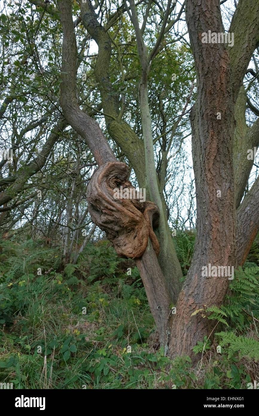 Aftas gran deformidad en el tronco de un viejo espino, Crataegus monogyna, en el Parque Nacional North Yorks, Octubre Imagen De Stock