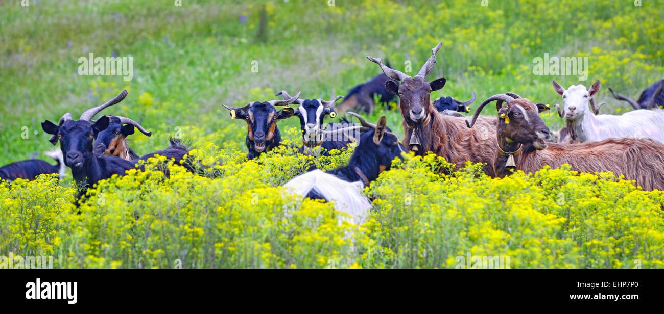 Un rebaño de cabras en un prado florido en el norte de Eubea, en la isla de Evia, Mar Egeo, Grecia Imagen De Stock
