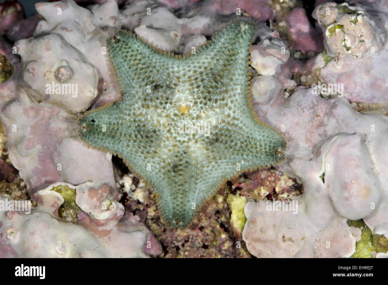 Star - Asterina gibbosa cojín Imagen De Stock