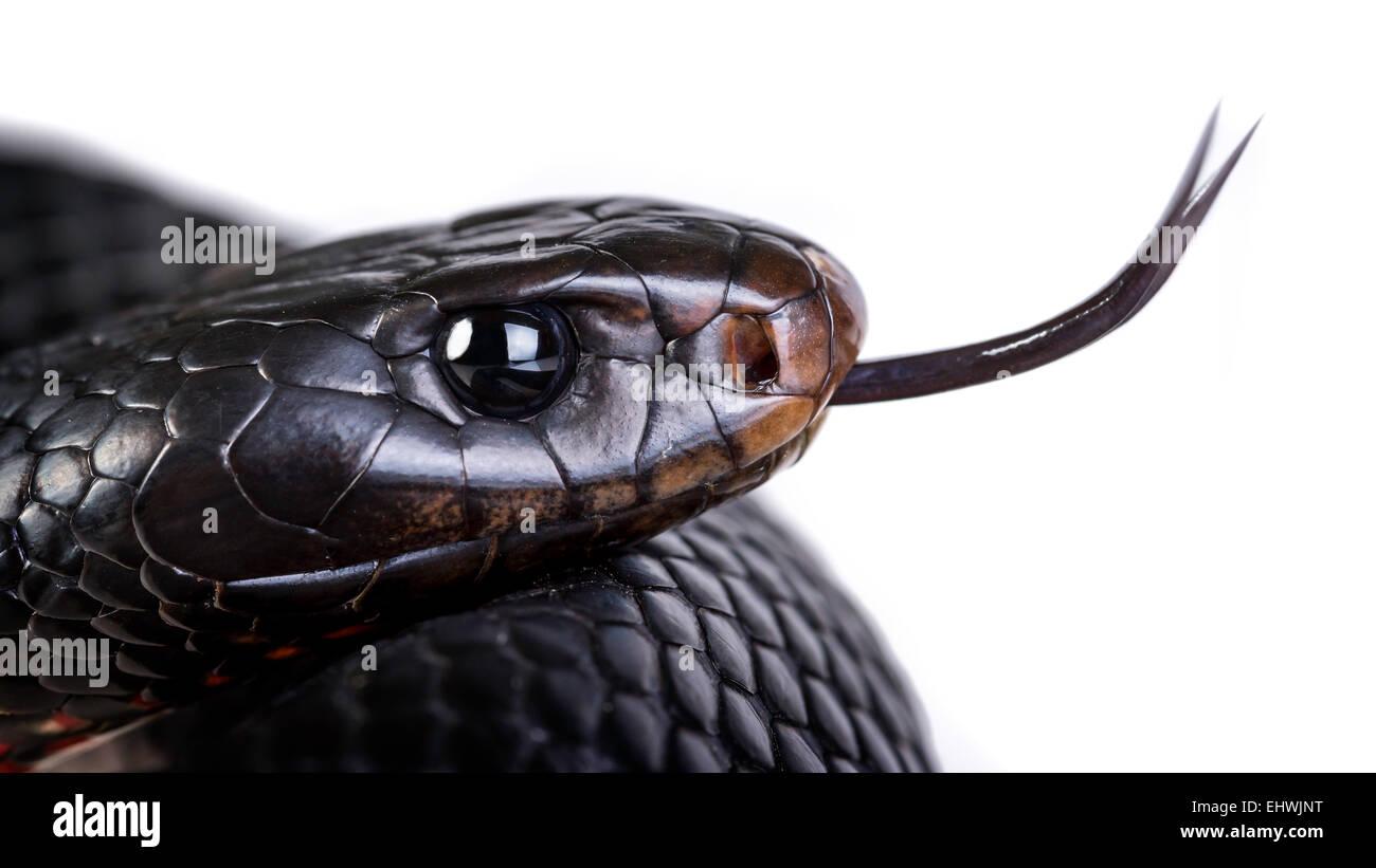 Una curva roja serpiente negra (Pseudechis porphyriacus) de cerca sobre un fondo blanco. Imagen De Stock