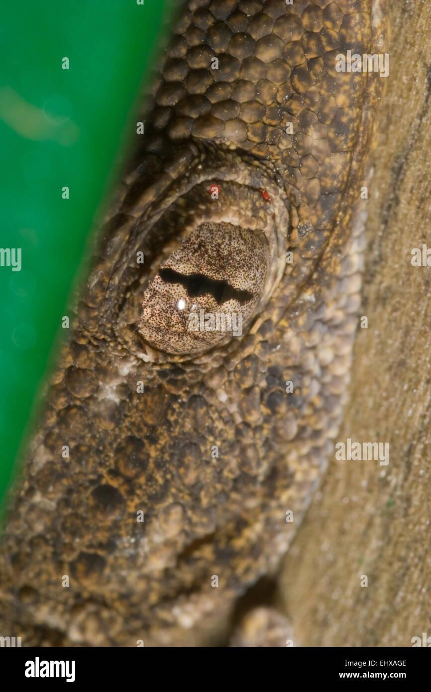 Salamanquesa (Tarentola mauritanica) escondida a la espectativa de cazar otros insectos - lagarto oculto ( Tarentola Imagen De Stock