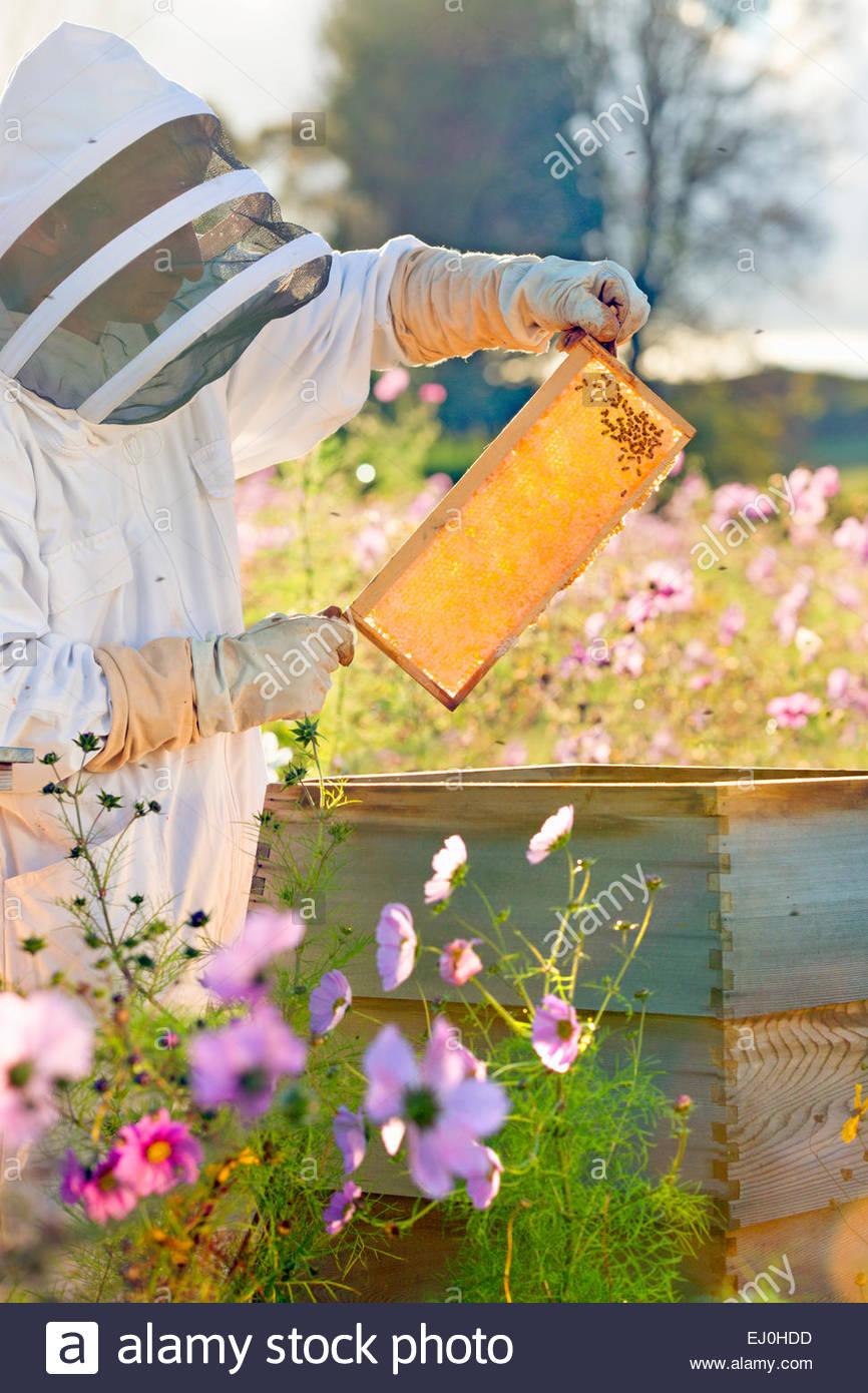 Comprobación apicultor miel sobre el bastidor de la colmena en el campo lleno de flores Imagen De Stock