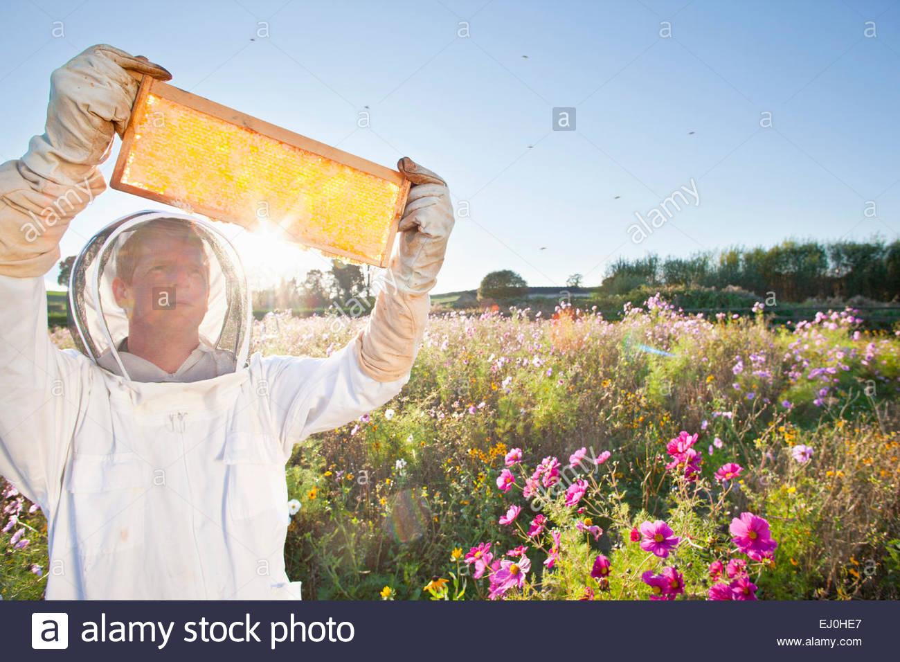 El apicultor, sosteniendo el bastidor de la colmena de miel hasta el sol, en el campo lleno de flores Imagen De Stock