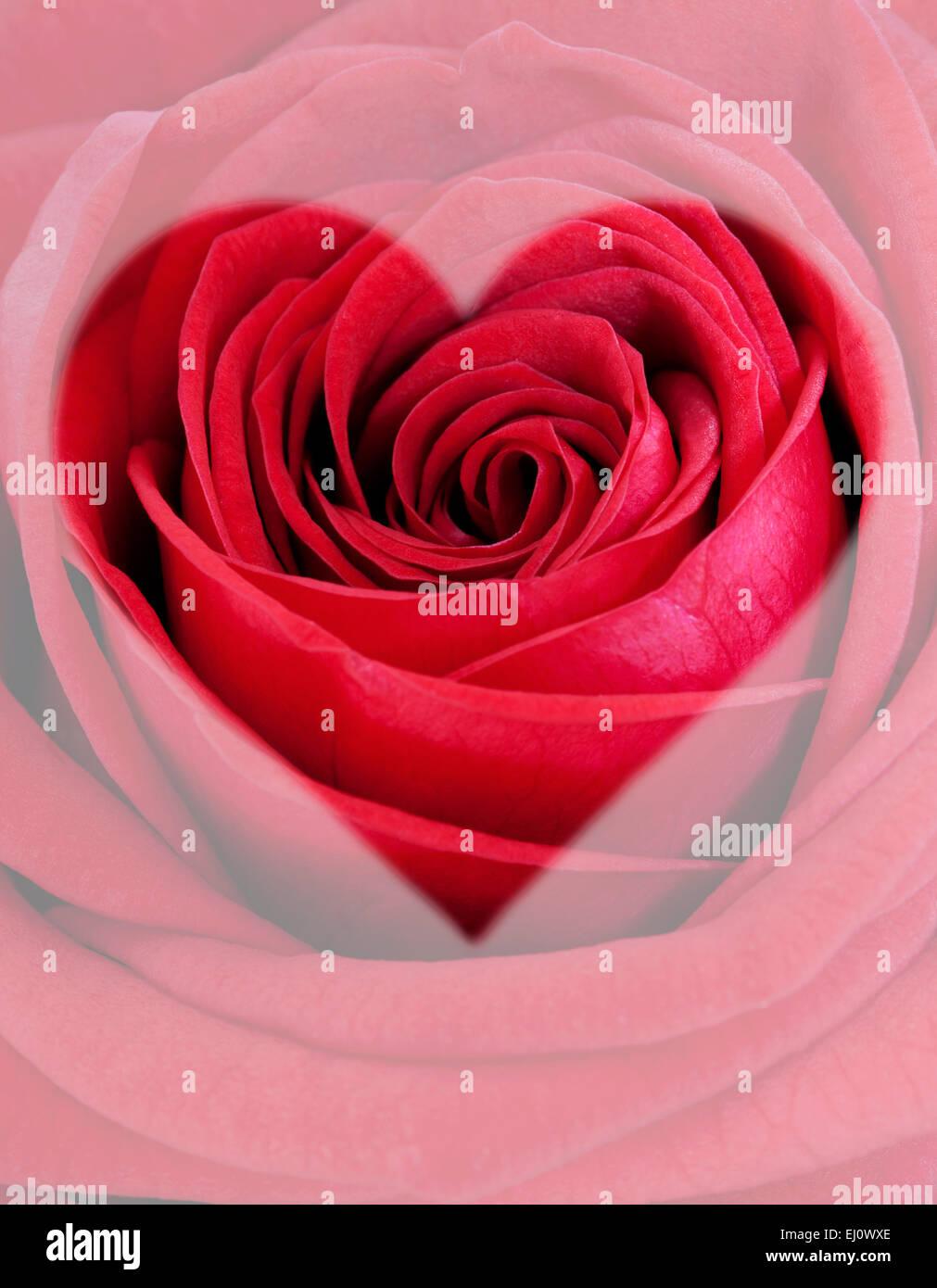 Rosa roja con forma de corazón Imagen De Stock
