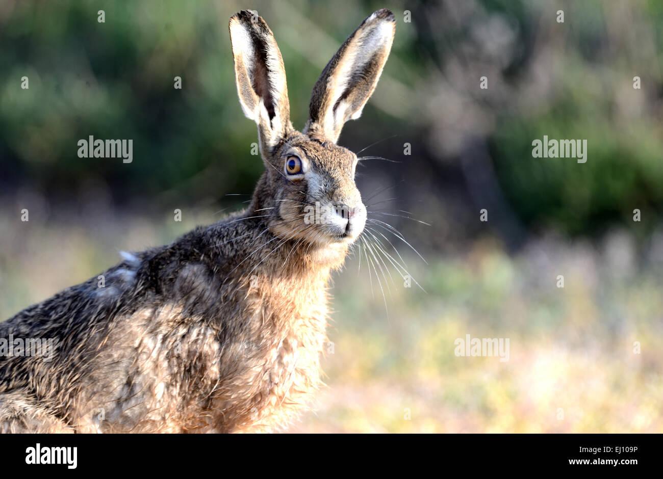 Liebre, conejo, Lepus europaeus Pallas, campo de liebre, de la naturaleza, roedores, animales salvajes, juego, animal, Imagen De Stock