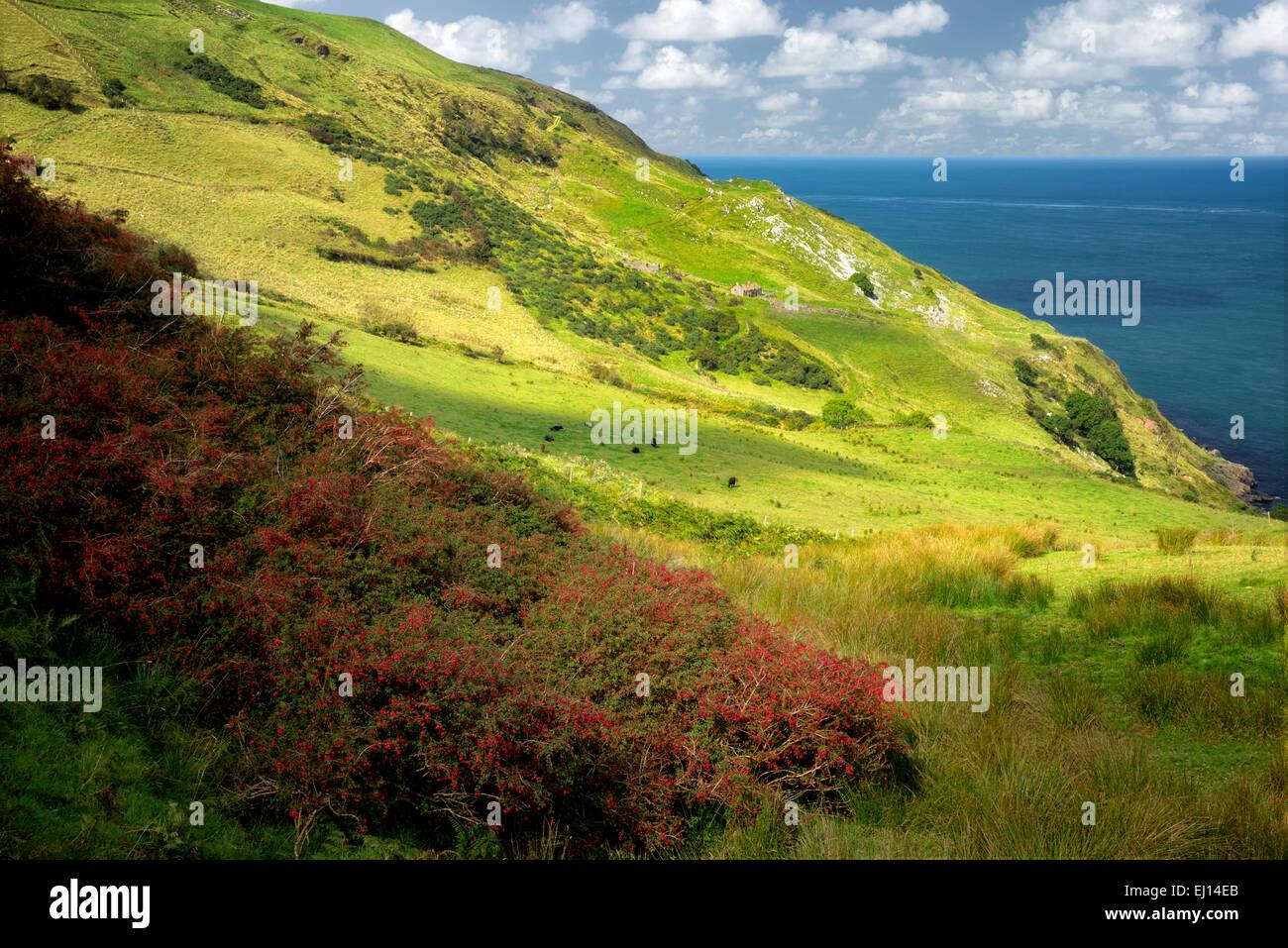 Fucsia de crecimiento silvestre. Torr Head. Irlanda del Norte. Imagen De Stock