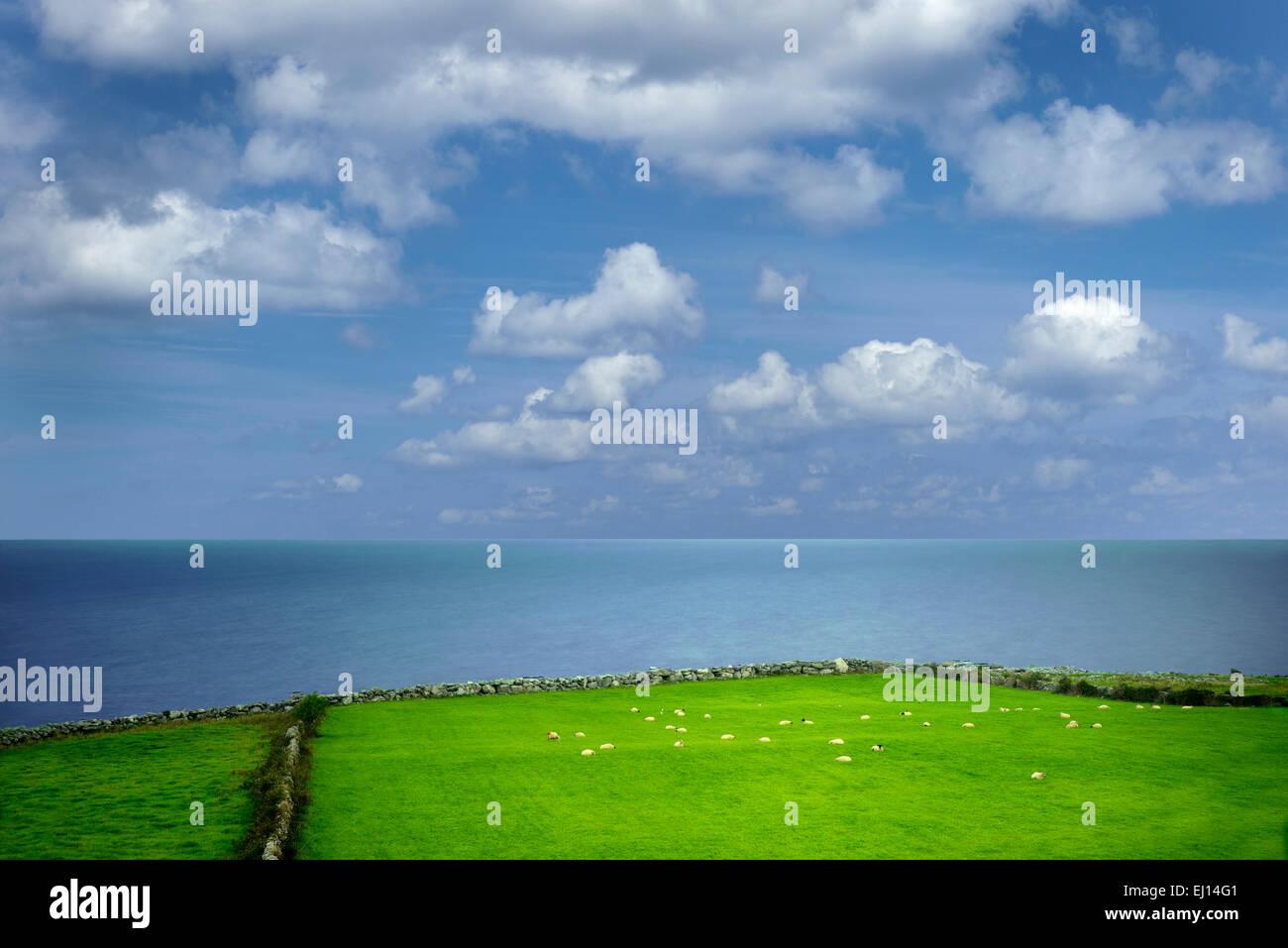 Las ovejas en la pastura con el océano. La Bahía de Galway, Cabeza Negra, el Burren, Irlanda Foto de stock