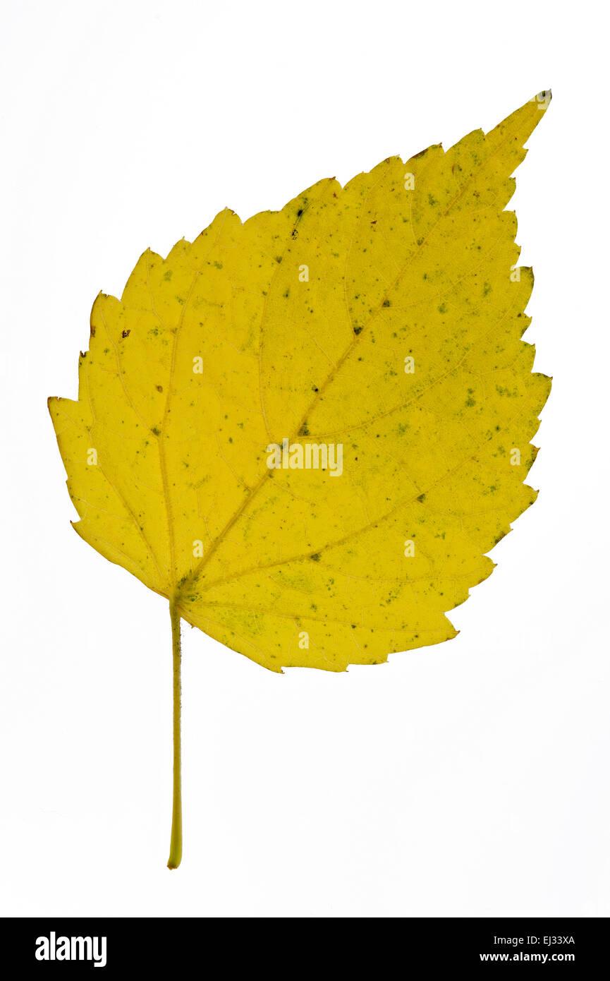 Moro / abedul pubescente / Unión de abedul blanco (Betula pubescens / Betula alba) Hoja de otoño originaria del norte de Europa sobre blanco Foto de stock