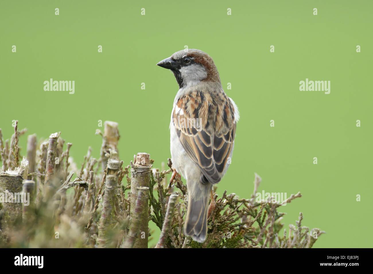 Gorrión común Foto de stock