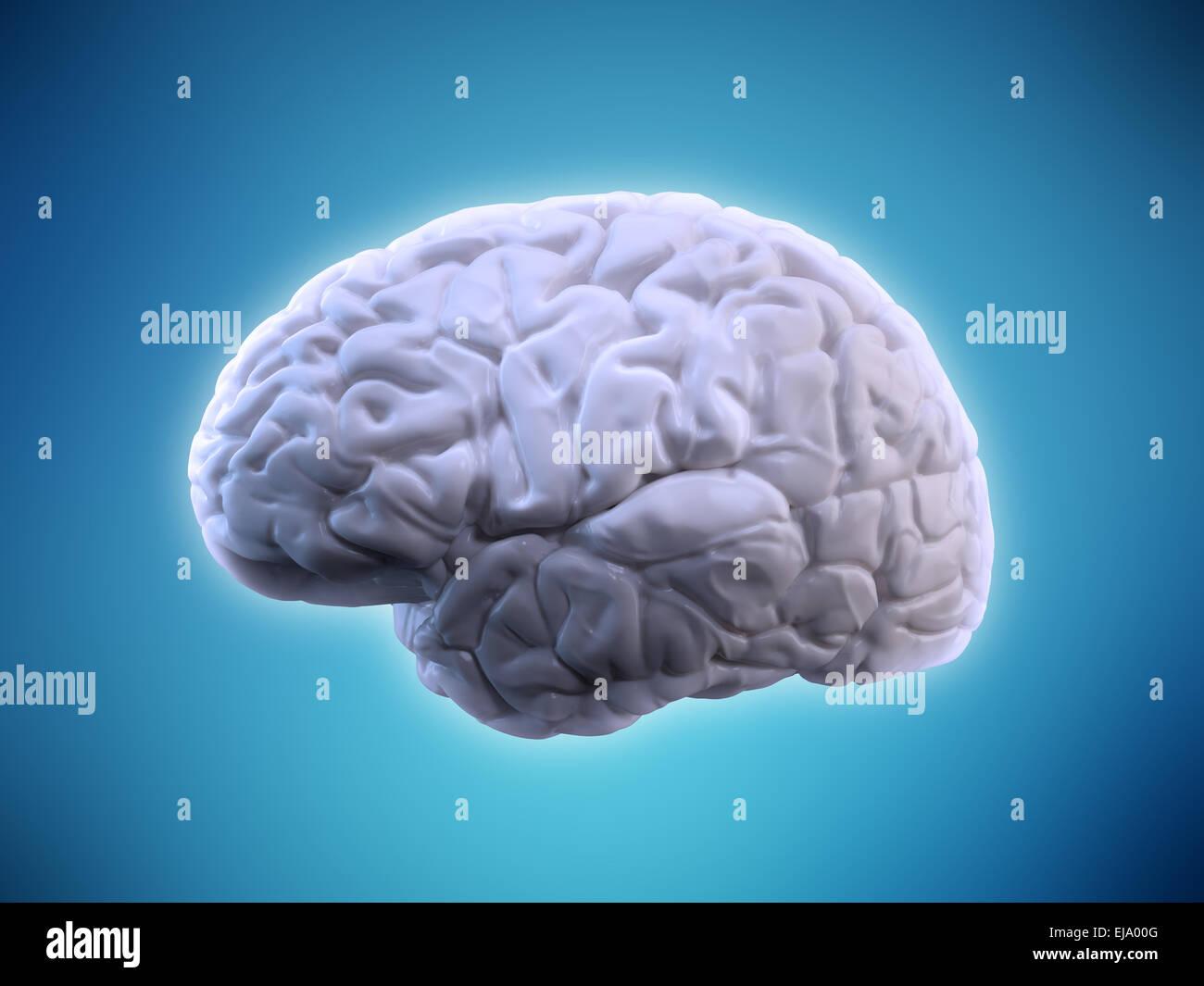 Cerebro Humano ilustración - anatomía humana Imagen De Stock