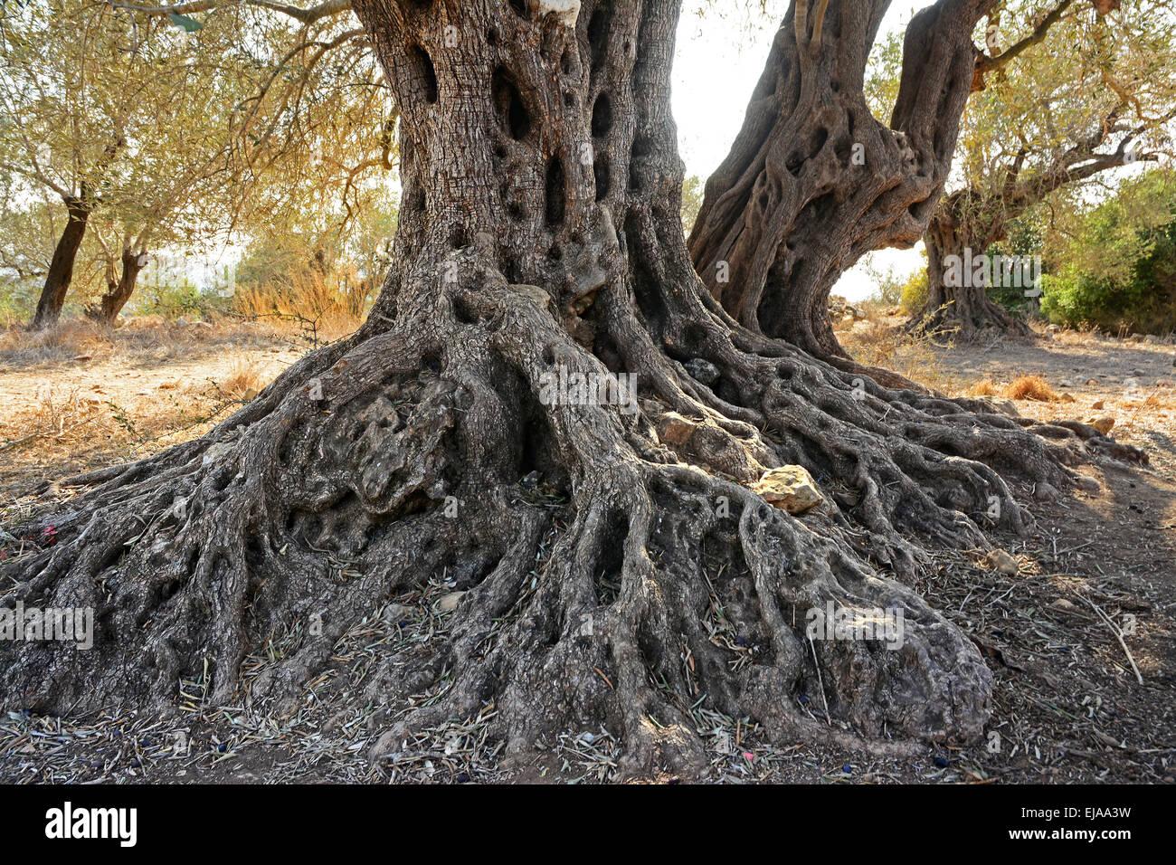 Viejo olivo viejo tronco. Imagen De Stock