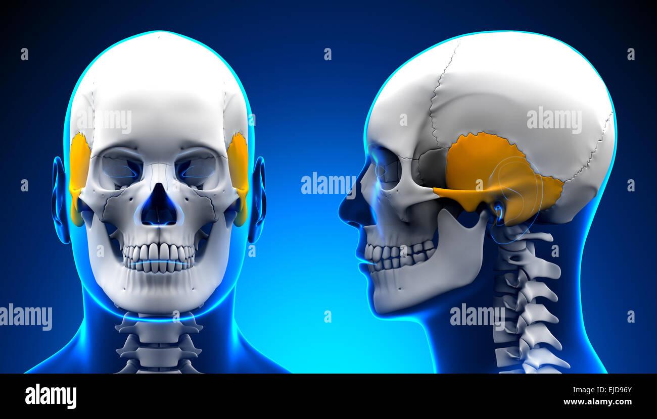 Temporal Bone Imágenes De Stock & Temporal Bone Fotos De Stock - Alamy