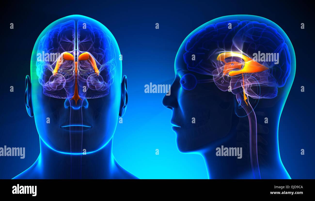 Male Brain Imágenes De Stock & Male Brain Fotos De Stock - Alamy