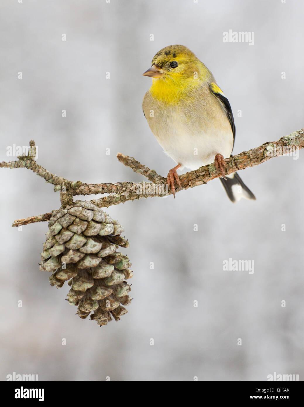 Un american gold finch posado después de una tormenta de nieve en Carolina del Norte. Imagen De Stock