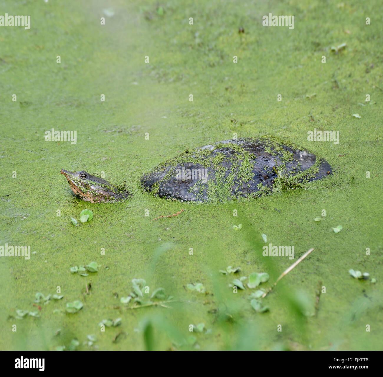 Tortugas de caparazón blando de Florida en el pantano Imagen De Stock