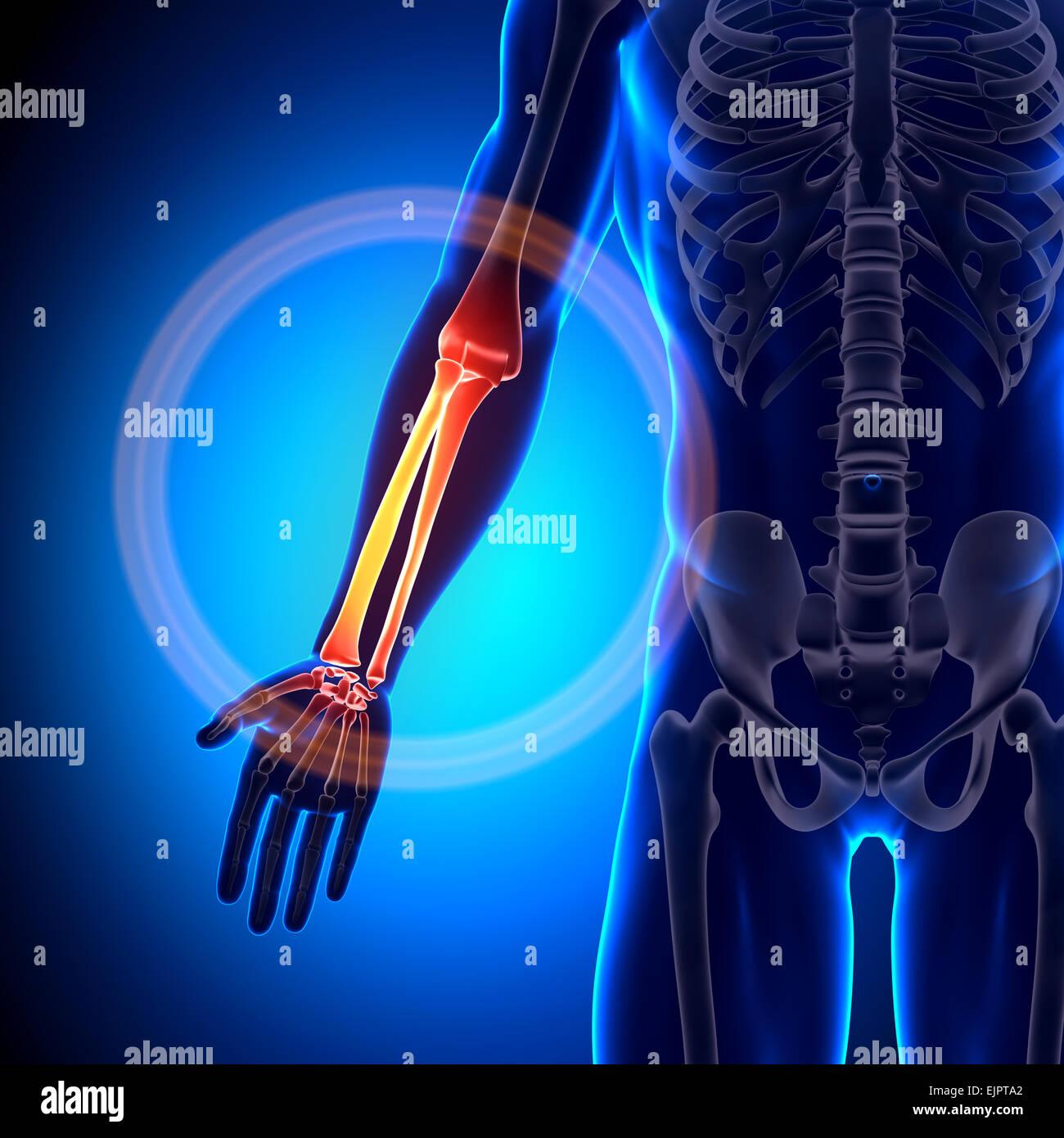 Forearm Bones Imágenes De Stock & Forearm Bones Fotos De Stock - Alamy