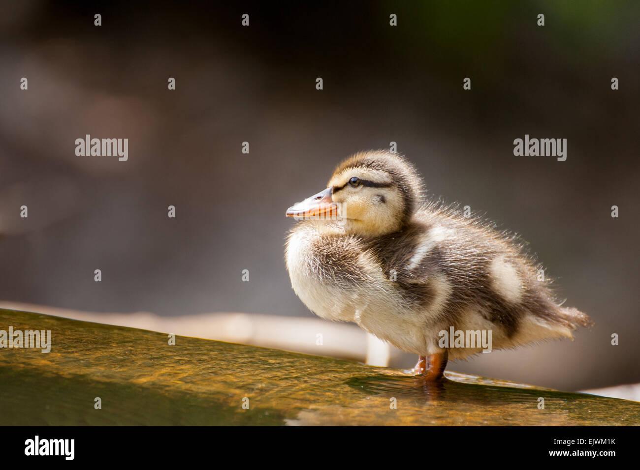 Un Pato Patito vadeando en la superficialidad. Imagen De Stock
