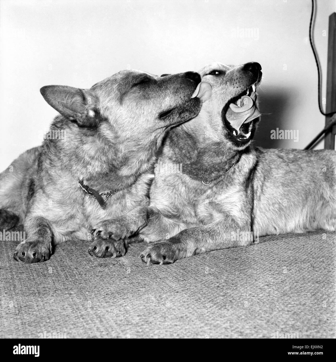 """Animales: Perros: La historia será hecha en el Cruft's dog show de este año, cuando """"miel"""" Imagen De Stock"""