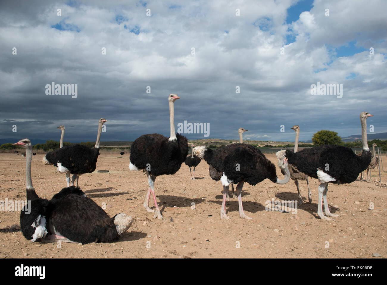 El avestruz (Struthio camelus) explotadas por su carne y sus plumas en una granja comercial en Oudtshoorn, Western Imagen De Stock