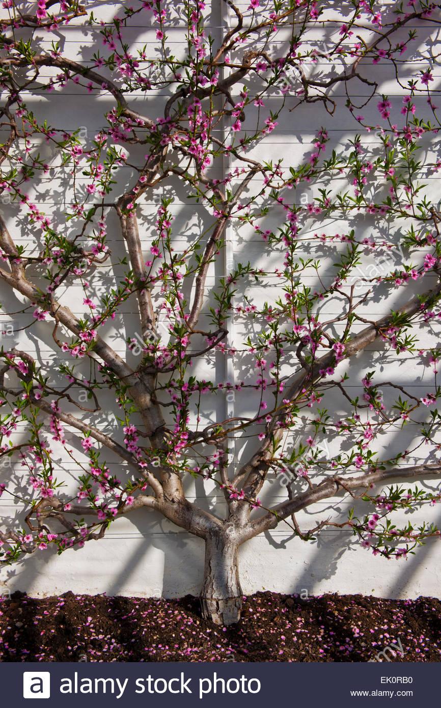 Prunus persica Duke of York' fan entrenado peach Imagen De Stock