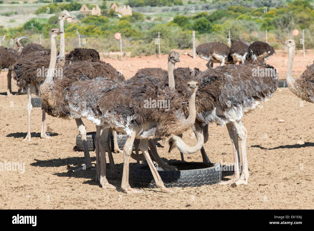 El avestruz (Struthio camelus) alimentación, cultivada por su carne y sus plumas en una granja comercial en Imagen De Stock