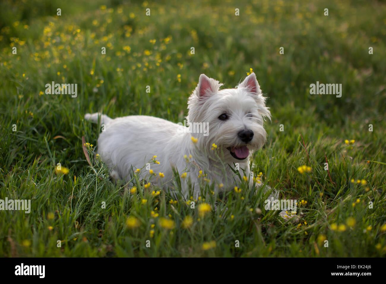 Un Westie (West Highland Terrier) descansa sobre el césped. Foto de stock