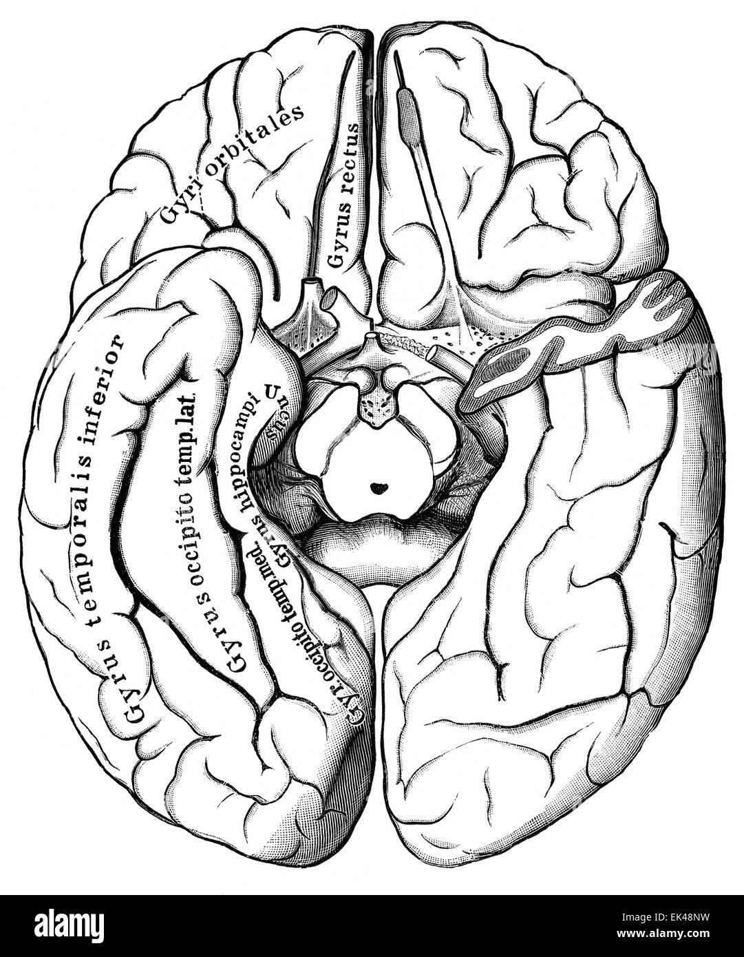 El cerebro humano visto desde abajo, Imagen De Stock