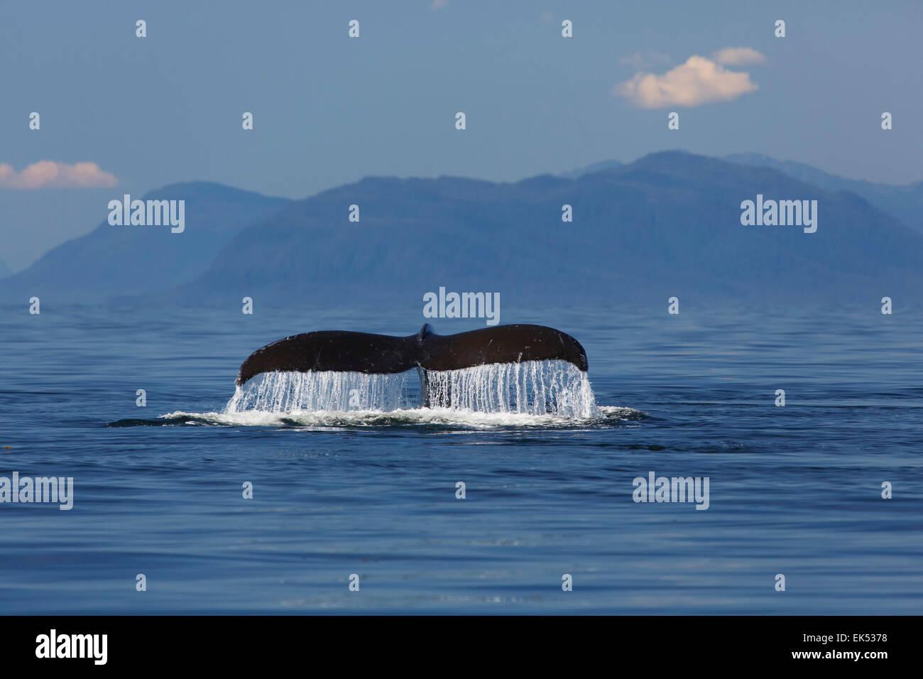 La ballena jorobada, Frederick Sound, Tongass National Forest, Alaska. Imagen De Stock