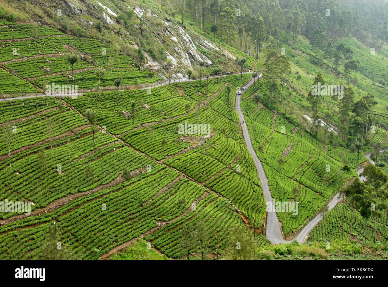 Estado de Dambatenne, plantaciones de té Lipton, Haputale, Hill Country, Sri Lanka, Asia Imagen De Stock