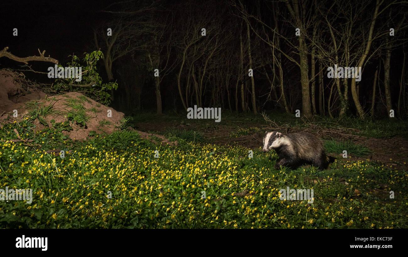 Tejón (Meles meles) capturadas con cámaras trampa en el bosque con piso cubierto en Celandines y desactivar el flash Foto de stock