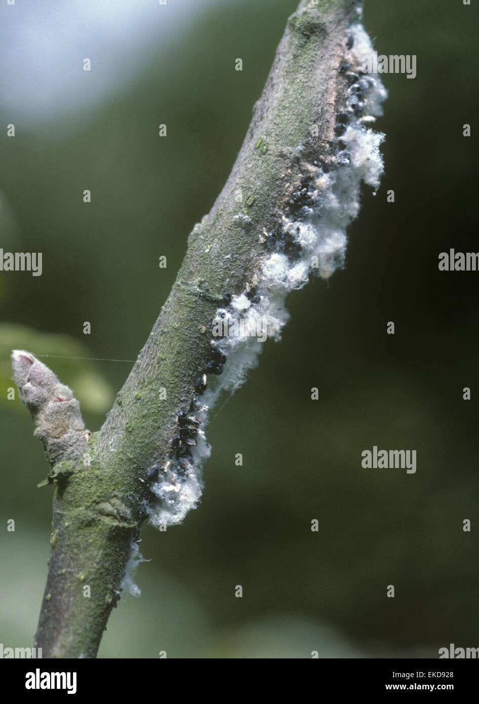 El pulgón lanudo - Eriostoma lanigerum Foto de stock