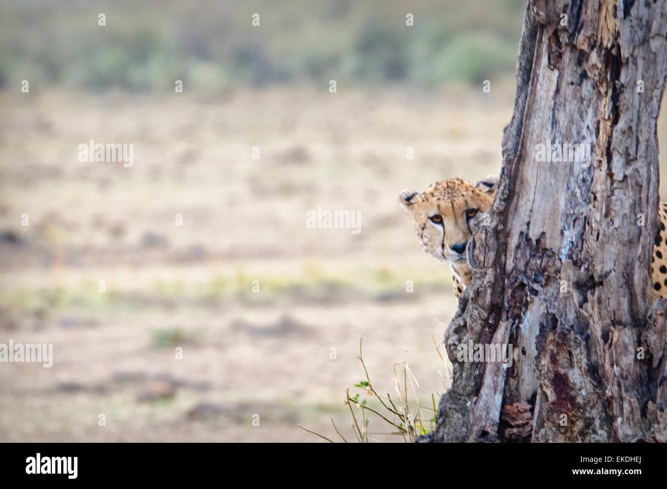 Jóvenes, guepardo Acinonyx jubatus, ocultando y mirar desde detrás de un árbol en el Masai Mara, Imagen De Stock