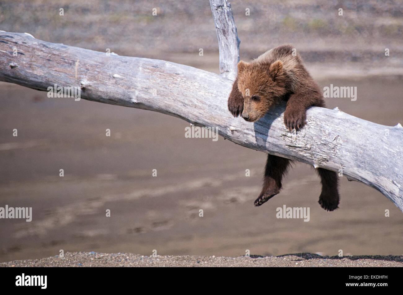 Cute Grizzly Bear Cub, muelle de Ursus arctos, colgando de una rama, el Parque Nacional Lake Clark, Alaska, EE.UU. Foto de stock