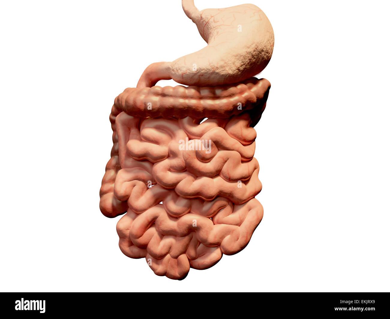 El tracto gastrointestinal, el colon, el intestino delgado, el ...