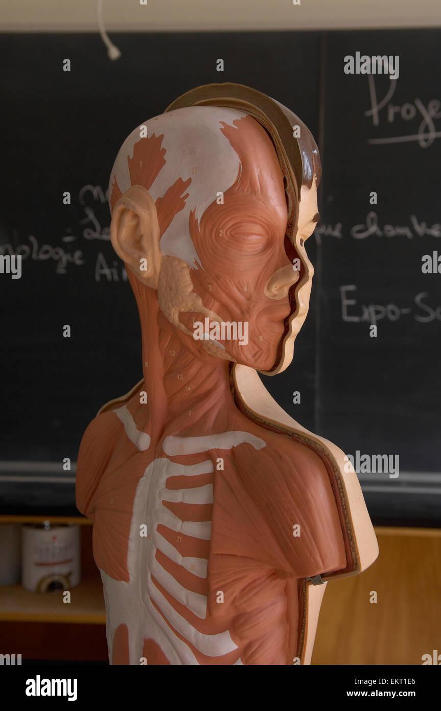 Modelo de la anatomía del muchacho en las aulas de la escuela ...