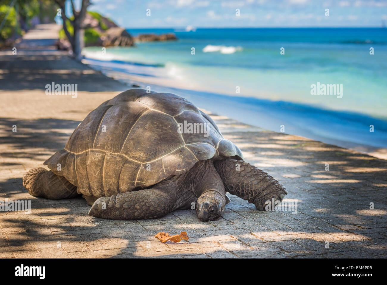 Tortuga Gigante de las Seychelles Imagen De Stock