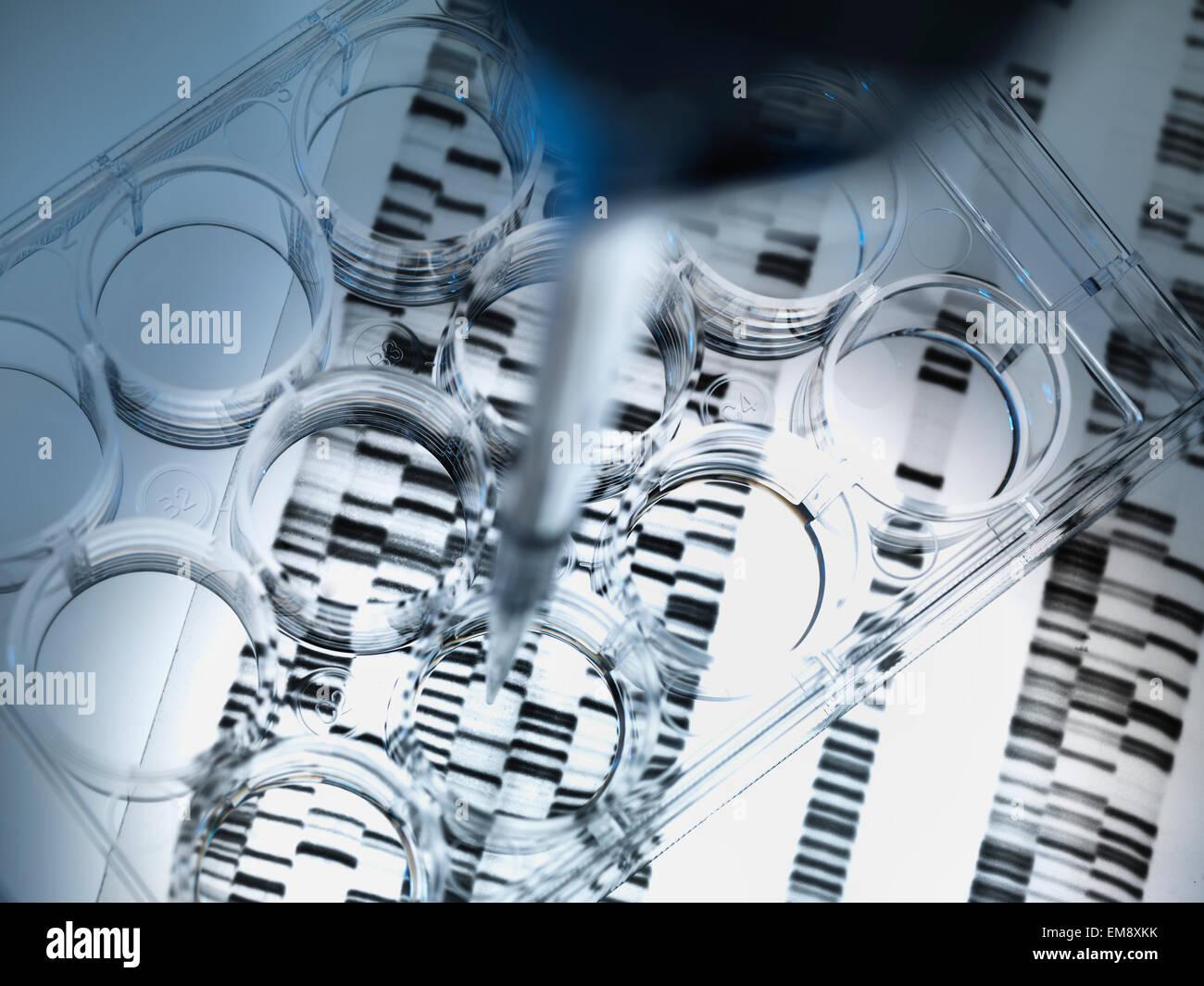 La adición de la pipeta de muestras de ADN a la bandeja para las pruebas de ADN, los resultados de gel de ADN Imagen De Stock