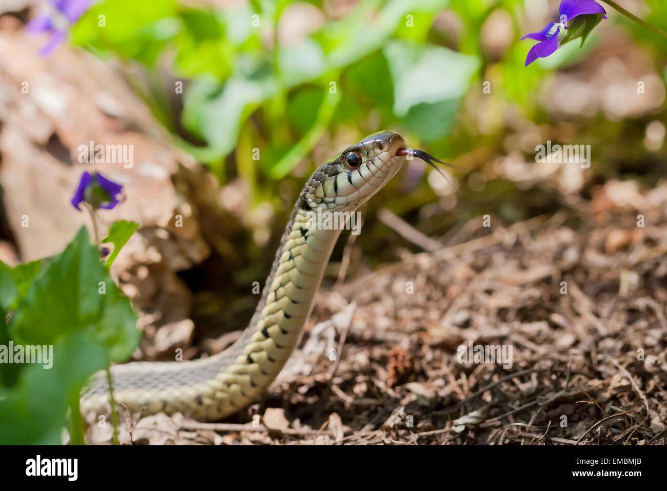 Garter Snake común (Thamnophis sirtalis) - Virginia EE.UU. Foto de stock