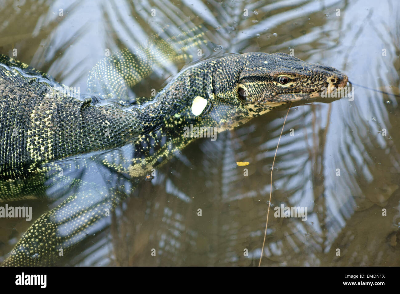Un monitor de agua grande lagarto varanus salvator, en agua al borde del lago de Lumphini Park en el centro de Bangkok. Imagen De Stock