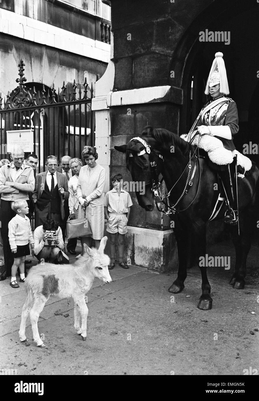 Por primera vez en la historia del cuartel de Wellington burros están en el establo con los caballos de los Imagen De Stock