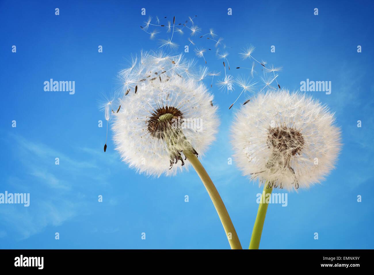 Reloj jaramago dispersión de semillas Imagen De Stock
