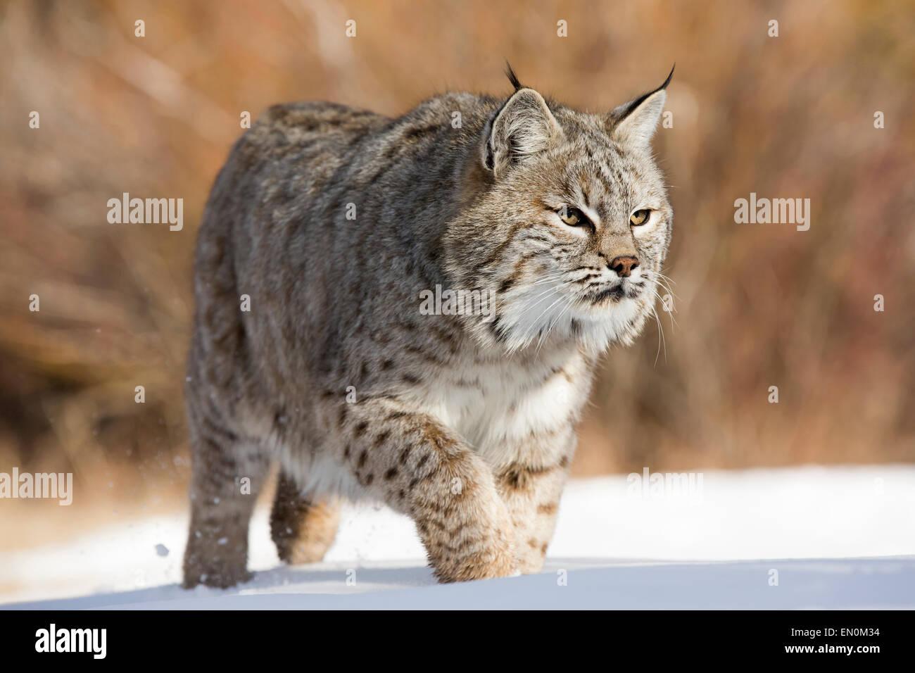 El gato montés (Felis rufus) caminando por la nieve en busca de comida Foto de stock