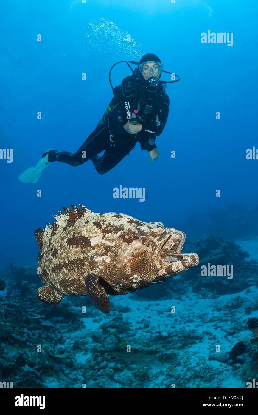 Scuba Diver y florido, mero Epinephelus fuscoguttatus, la Gran Barrera de Coral de Australia Imagen De Stock