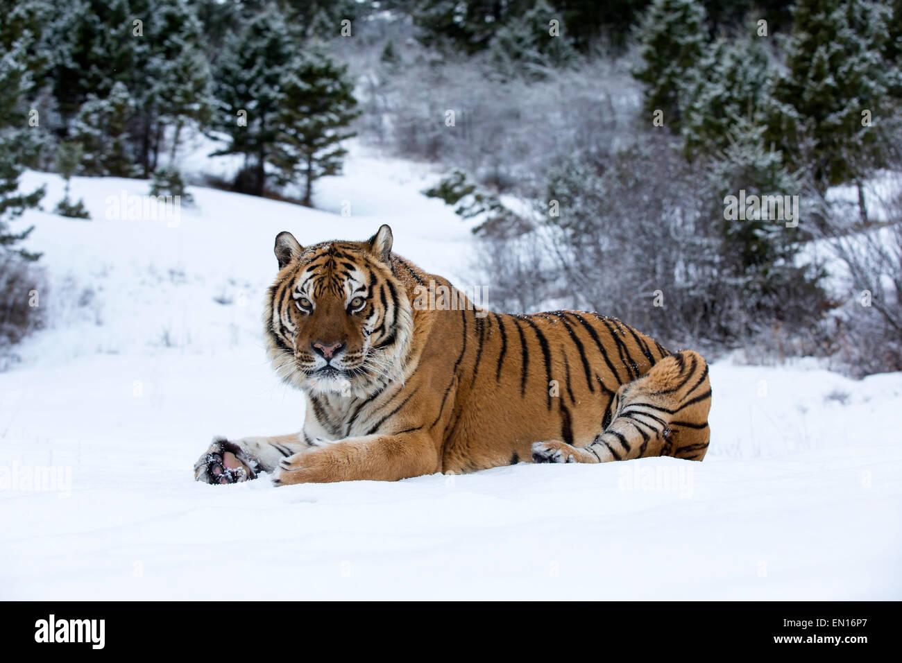Tigre siberiano (Panthera tigris altaica) adulto sentado en la nieve en el borde del bosque Imagen De Stock