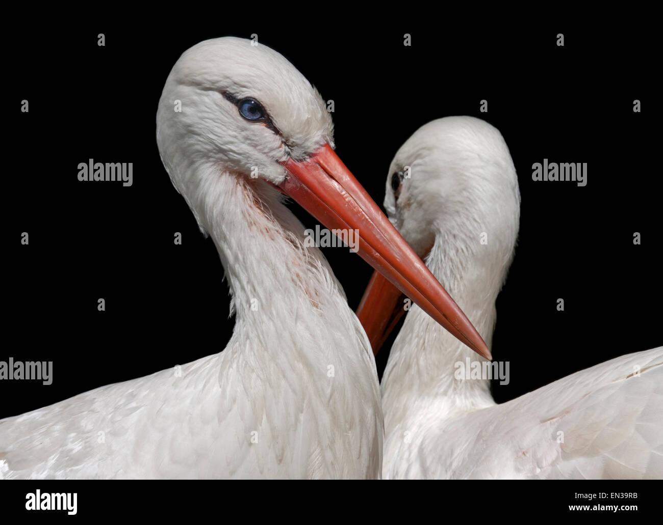 Cigüeñas blancas (Ciconia ciconia) Foto de stock