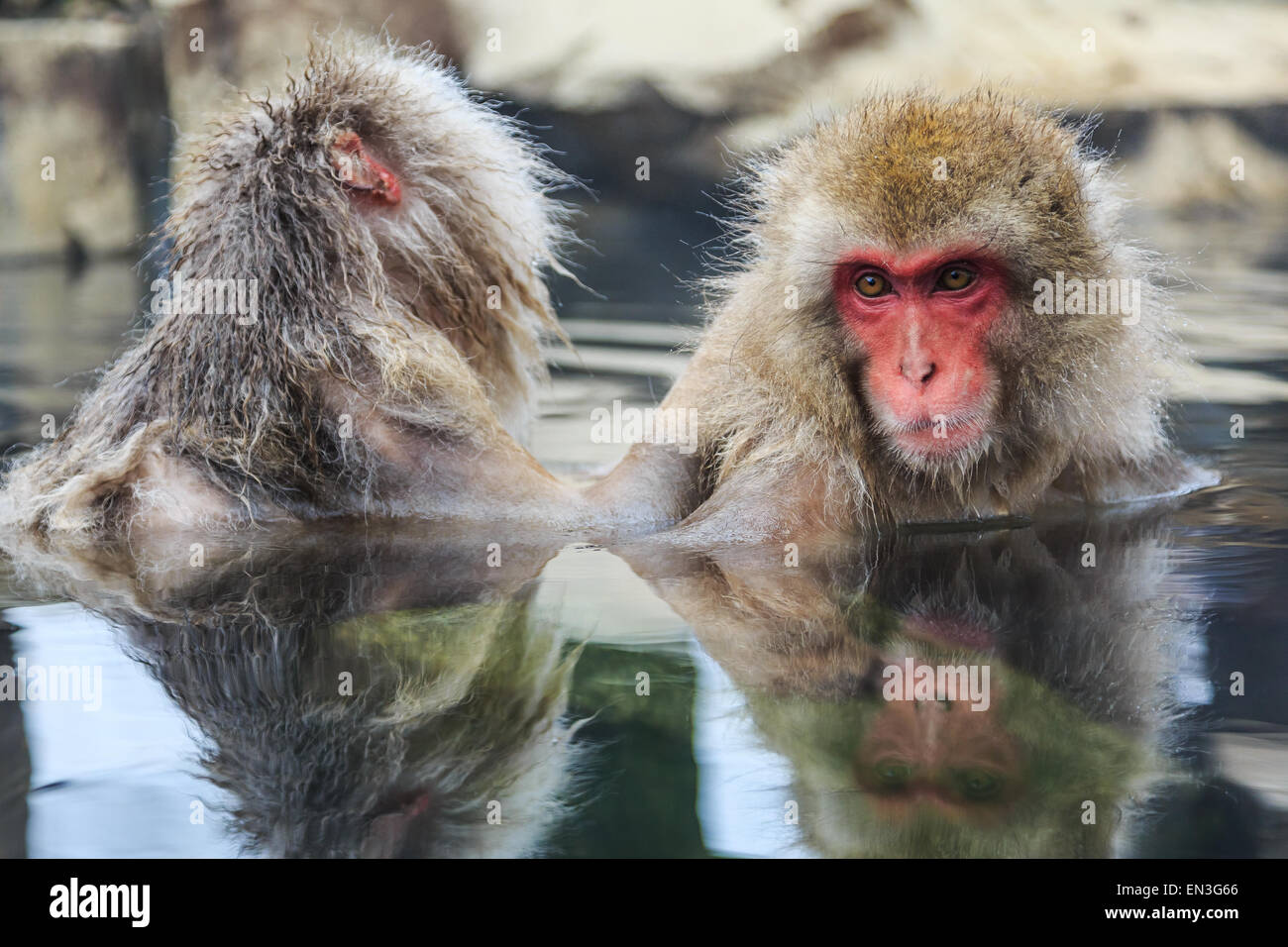 Monos de nieve en un onsen (aguas termales naturales), ubicado en el Parque Jigokudani, Yudanaka. Nagano, Japón. Imagen De Stock