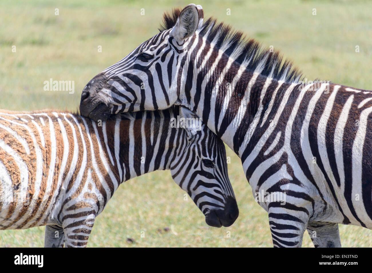 Zebra Equus quagga familia en el Área de Conservación de Ngorongoro, Tanzania, África. Imagen De Stock